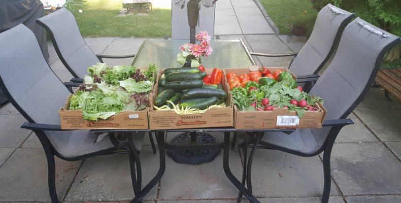 Première récolte de légumes de l'année 2017 pour l'organisme Les Jardins du Coeur